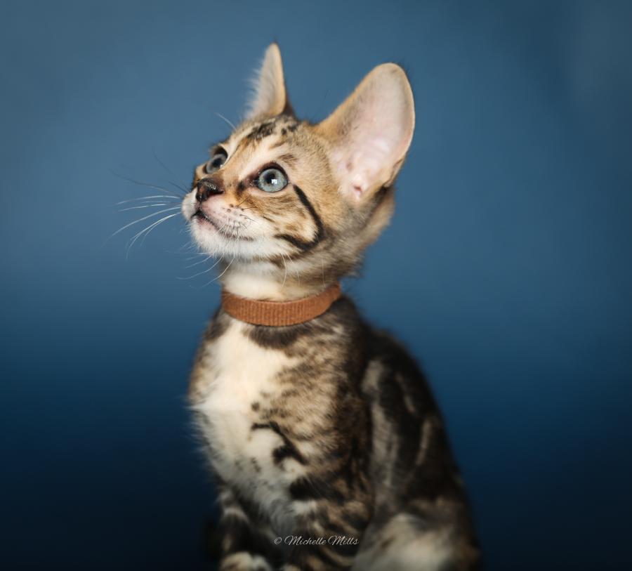F1hybrids Savannah Cats - April 29, 2016-23.jpg