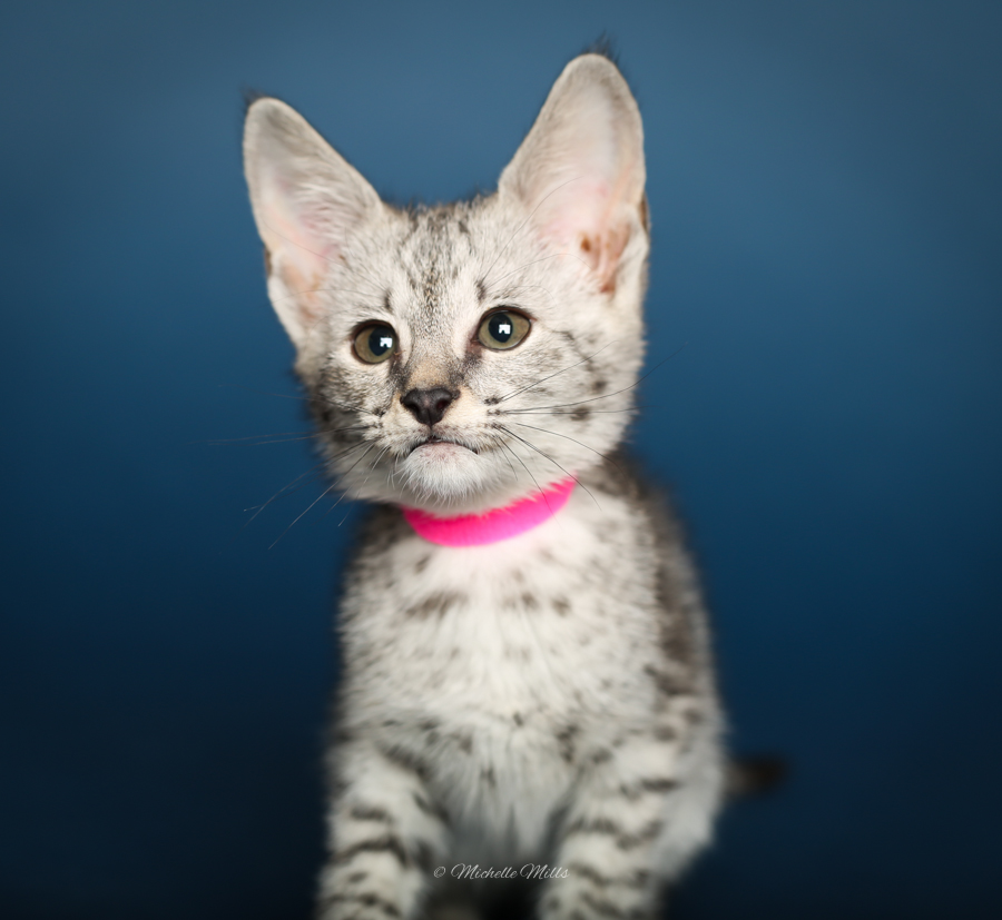 F1hybrids Savannah Cats - April 29, 2016-74.jpg