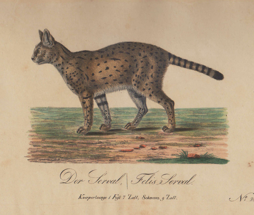 1830. Serval Cat