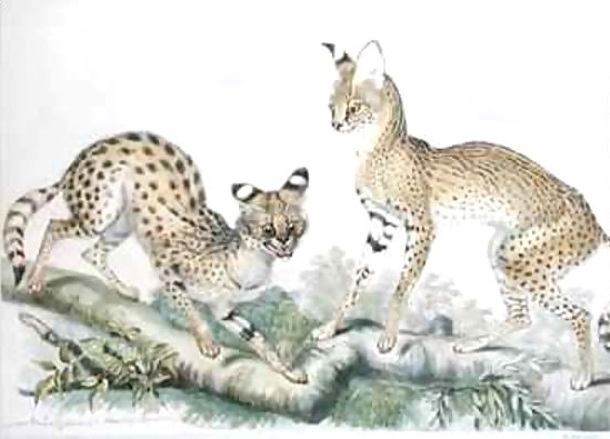 1867. Serval Cat