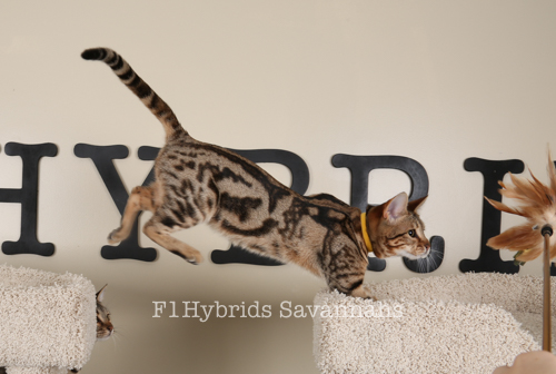 F1HybridsSavananhs-161226-7.jpg