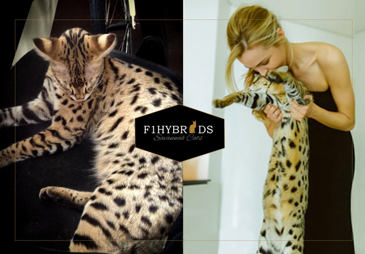 Mr Bubbles F1 Savannah Cat