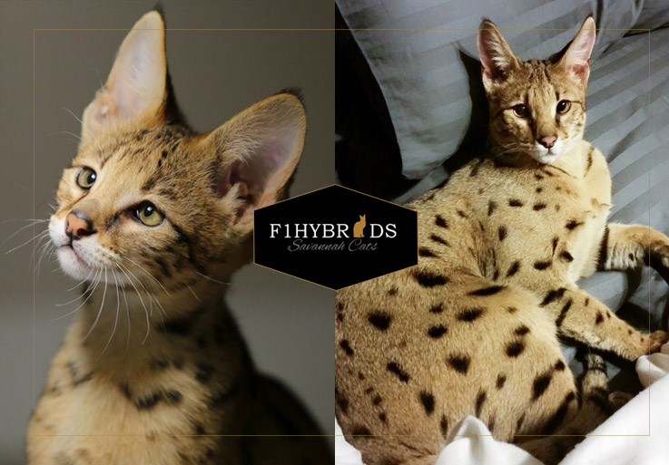 Hound, F2 Savannah Cat