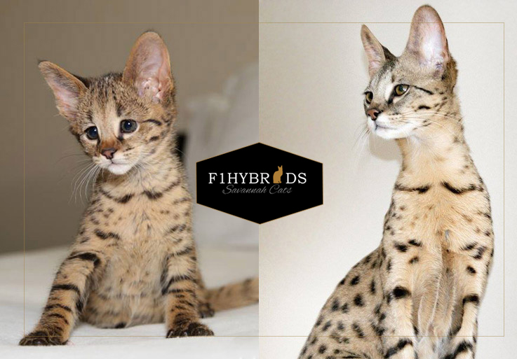 Alfred, F2 Savannah Cat