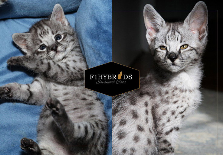 Bear F2 Savannah Cat
