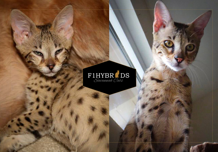 Cheetah, F2 Savannah Cat