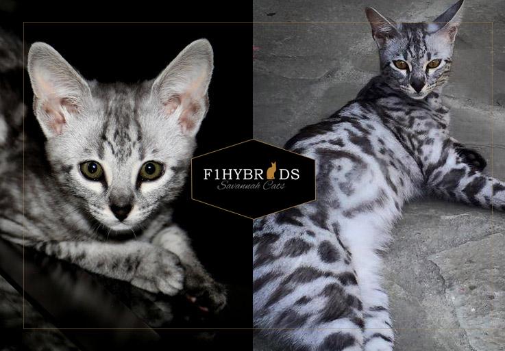 Leena F2 Savannah Cat