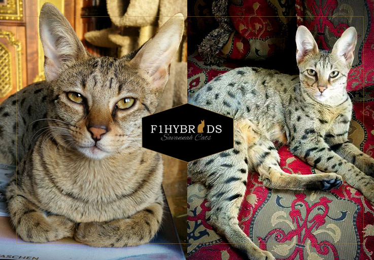 Abigail F2 Savannah Cat