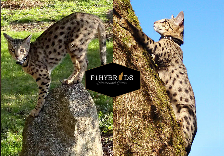 Brittney - F2 Savannah Cat