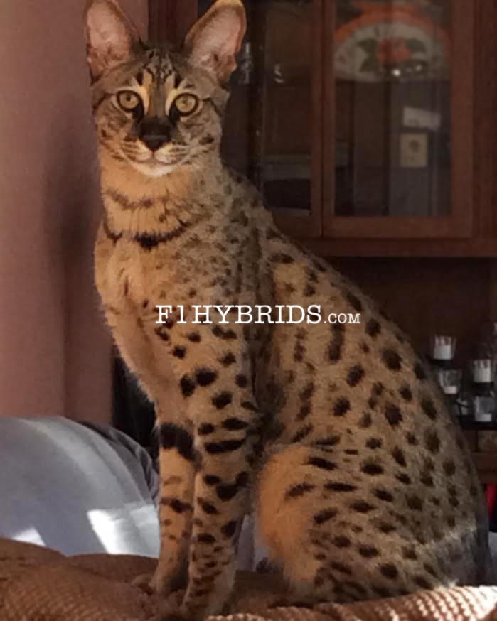 F2 Savannah Kittens For Sale