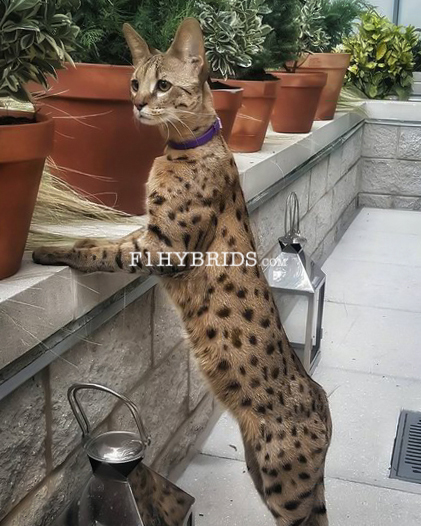 F2 Savannah Cat