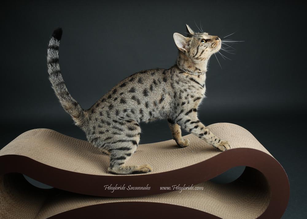 f1hybridssavannahcats-42.jpg