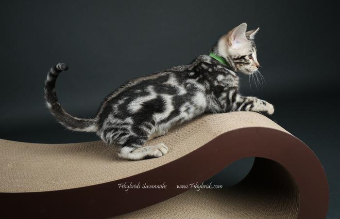 f1hybridssavannahcats-65.jpg