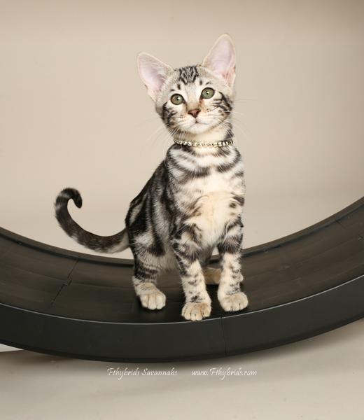 f1hybridssavannahcats-22.jpg