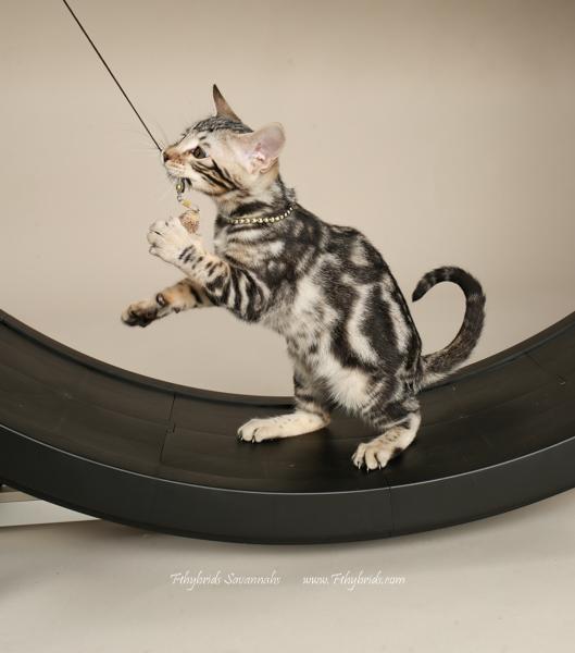 f1hybridssavannahcats-25.jpg