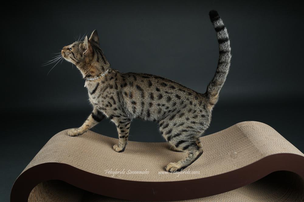 f1hybridssavannahcats-51.jpg