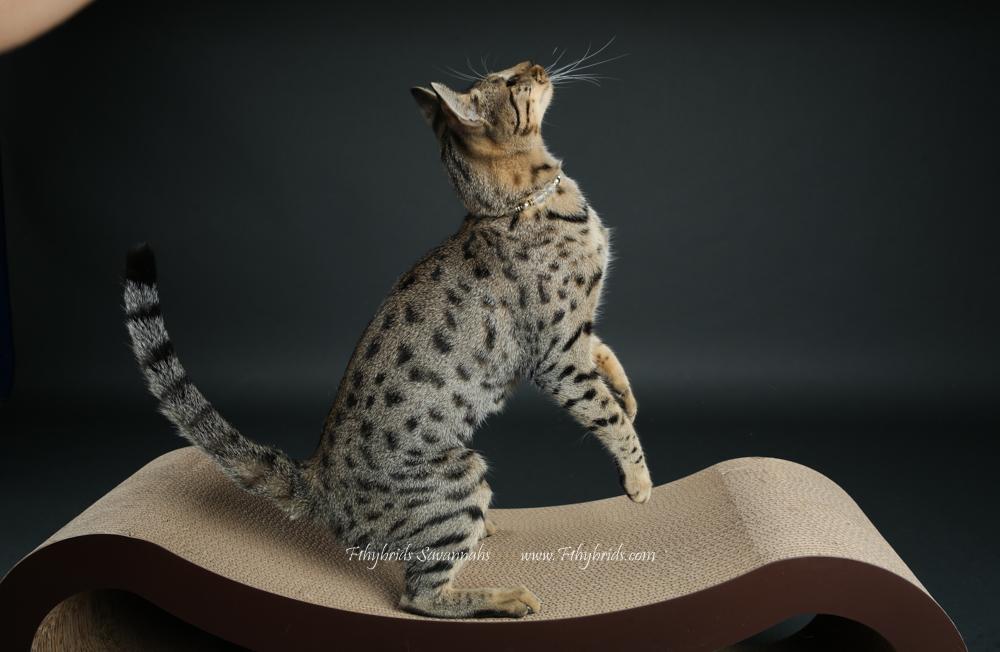 f1hybridssavannahcats-52.jpg
