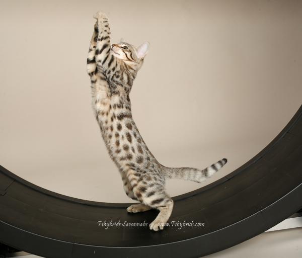 f1hybridssavannahcats-30.jpg