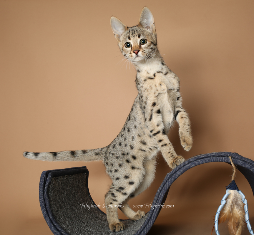 F2 Savannah Kitten