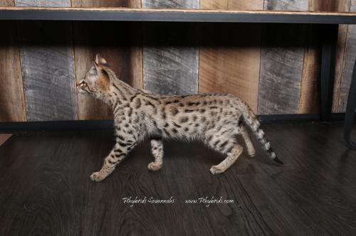F2.Savannah.Cat.John-3.jpg