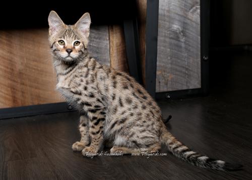 F2.Savannah.Cat.John-8.jpg