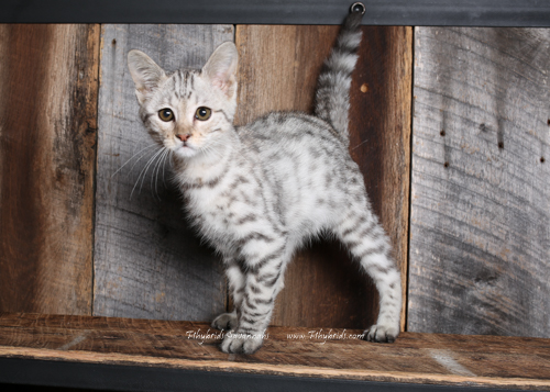 F2.Savannah.Cat.Joshia-2.jpg