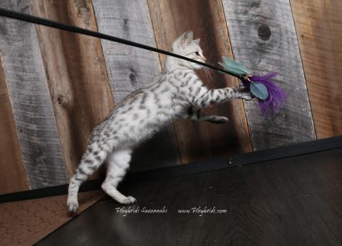 F2.Savannah.Cat.Joshia-5.jpg