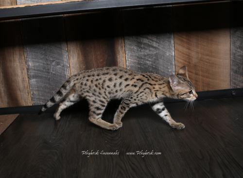 F2.Savannah.Cat.Heidi-5.jpg