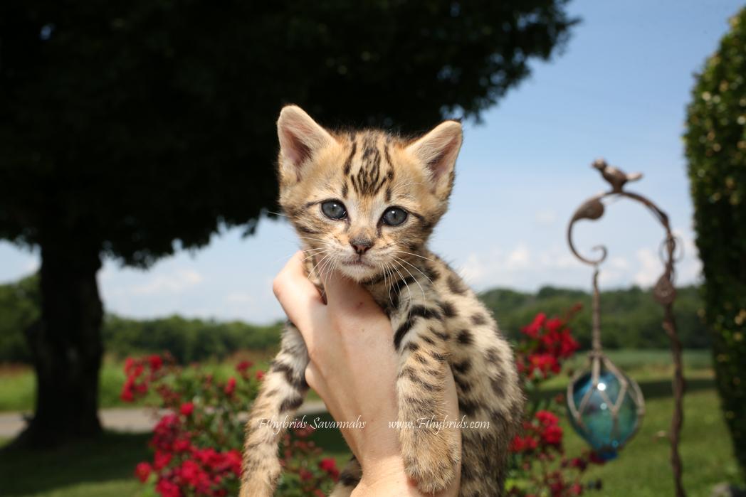 F2.Savannah.Kittens-30.jpg