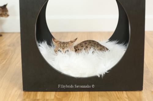F1hybrids.F2.Savannah.Kittens.8.22.2018-5.jpg