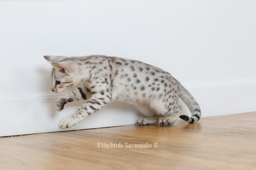 F1hybrids.Romeo.Juliet.F2.Savannah.Kittens-26.jpg