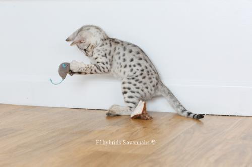 F1hybrids.Romeo.Juliet.F2.Savannah.Kittens-42.jpg