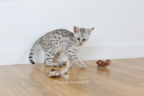 F1hybrids.Romeo.Juliet.F2.Savannah.Kittens-46.jpg