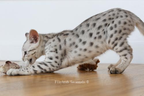 F1hybrids.Romeo.Juliet.F2.Savannah.Kittens-47.jpg