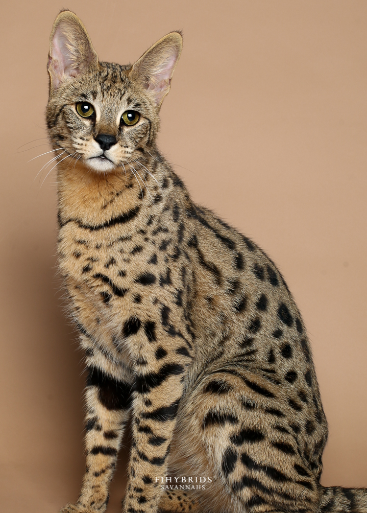 Savannah Cat Care: Toys, Litterbox, Anestesia, Diet
