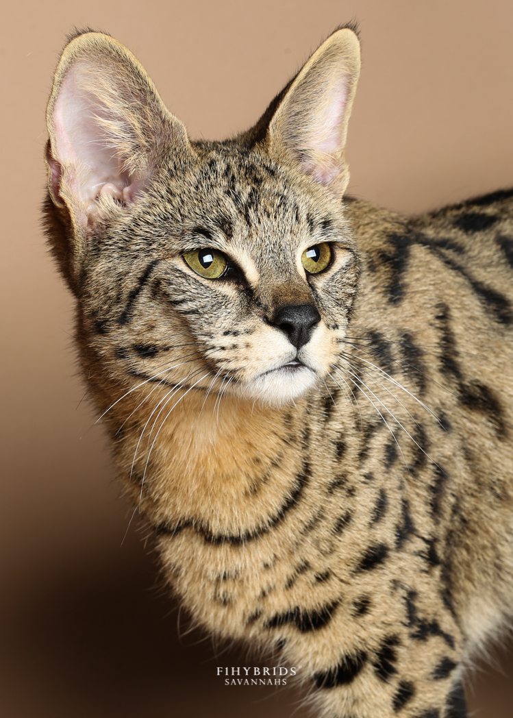 Savannah Cat Care: Toys, Litterbox, Anestesia, Diet