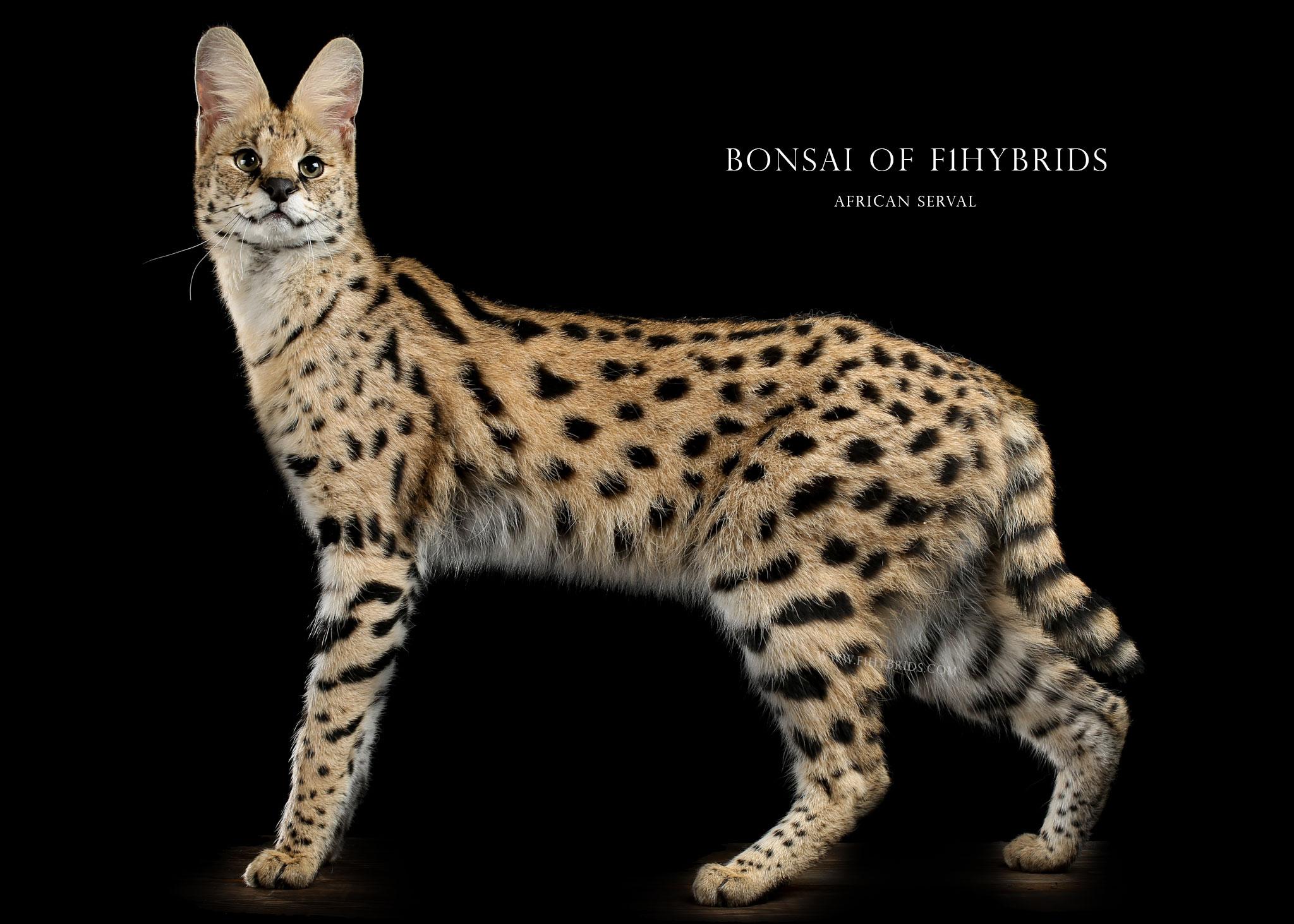 BonsaiServalcat.jpg