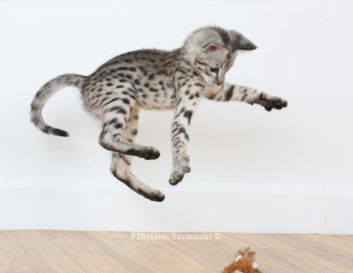 F1hybrids.Romeo.Juliet.F2.Savannah.Kittens-15.jpg
