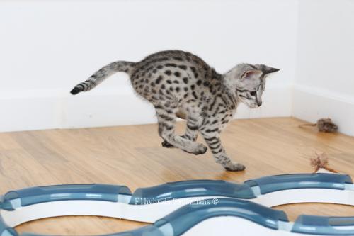 F1hybrids.Romeo.Juliet.F2.Savannah.Kittens-16.jpg