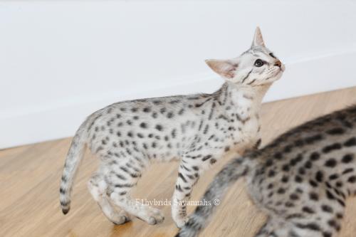 F1hybrids.Romeo.Juliet.F2.Savannah.Kittens-23.jpg