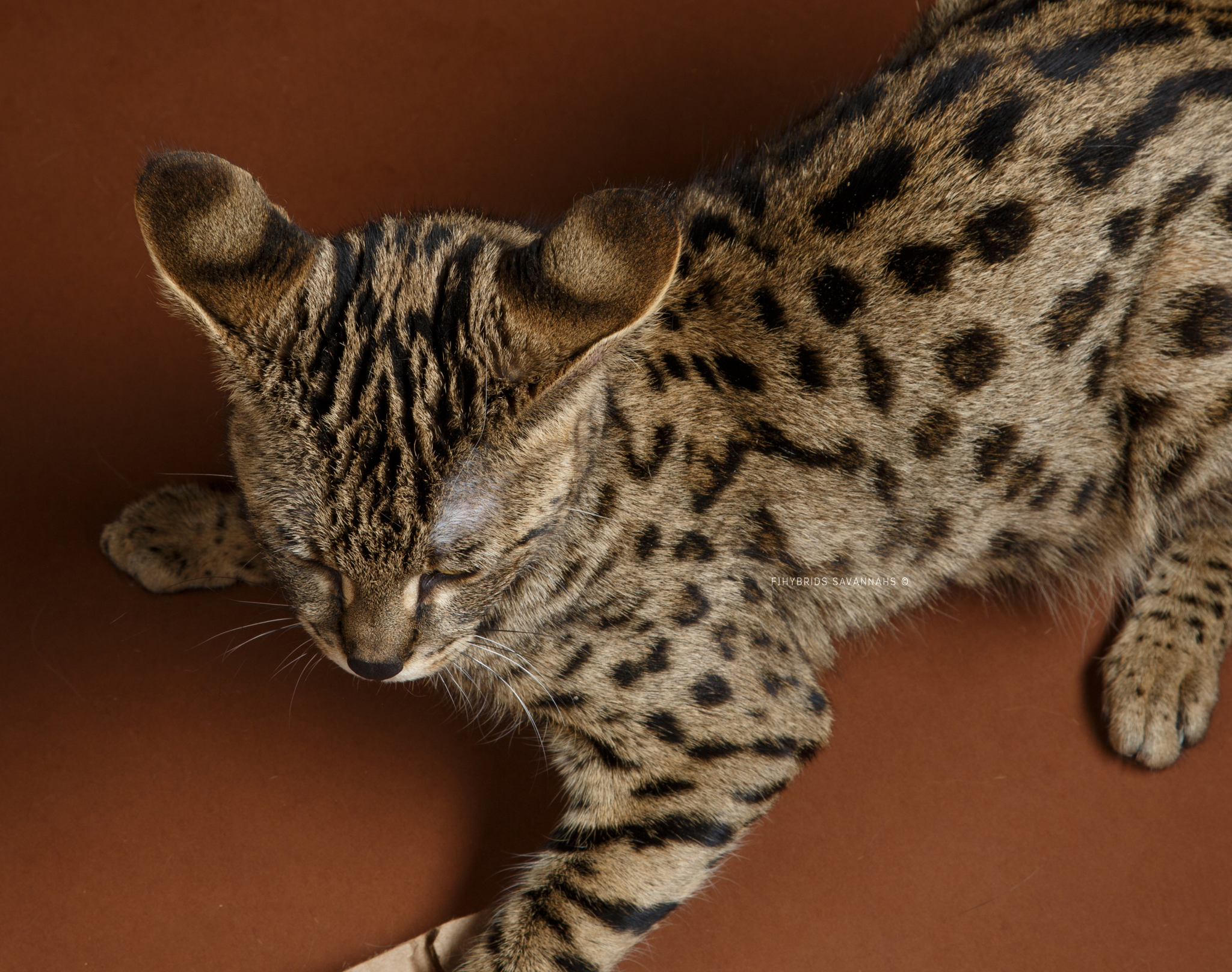 Savannah Cat Ears