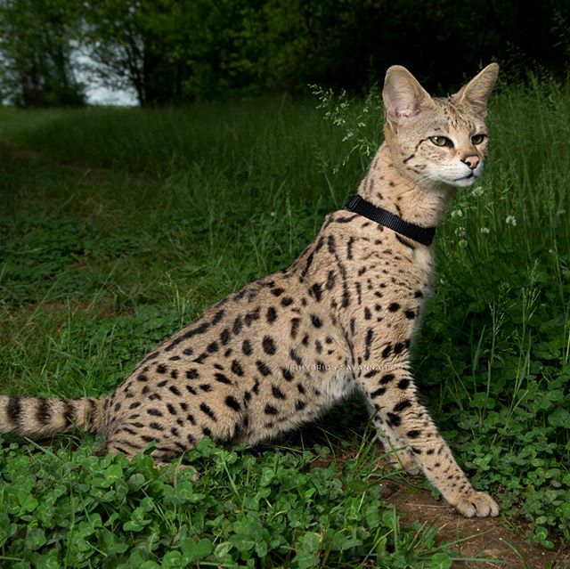 F1 Savannah Cat  Visit our website www.F1hybrids.com