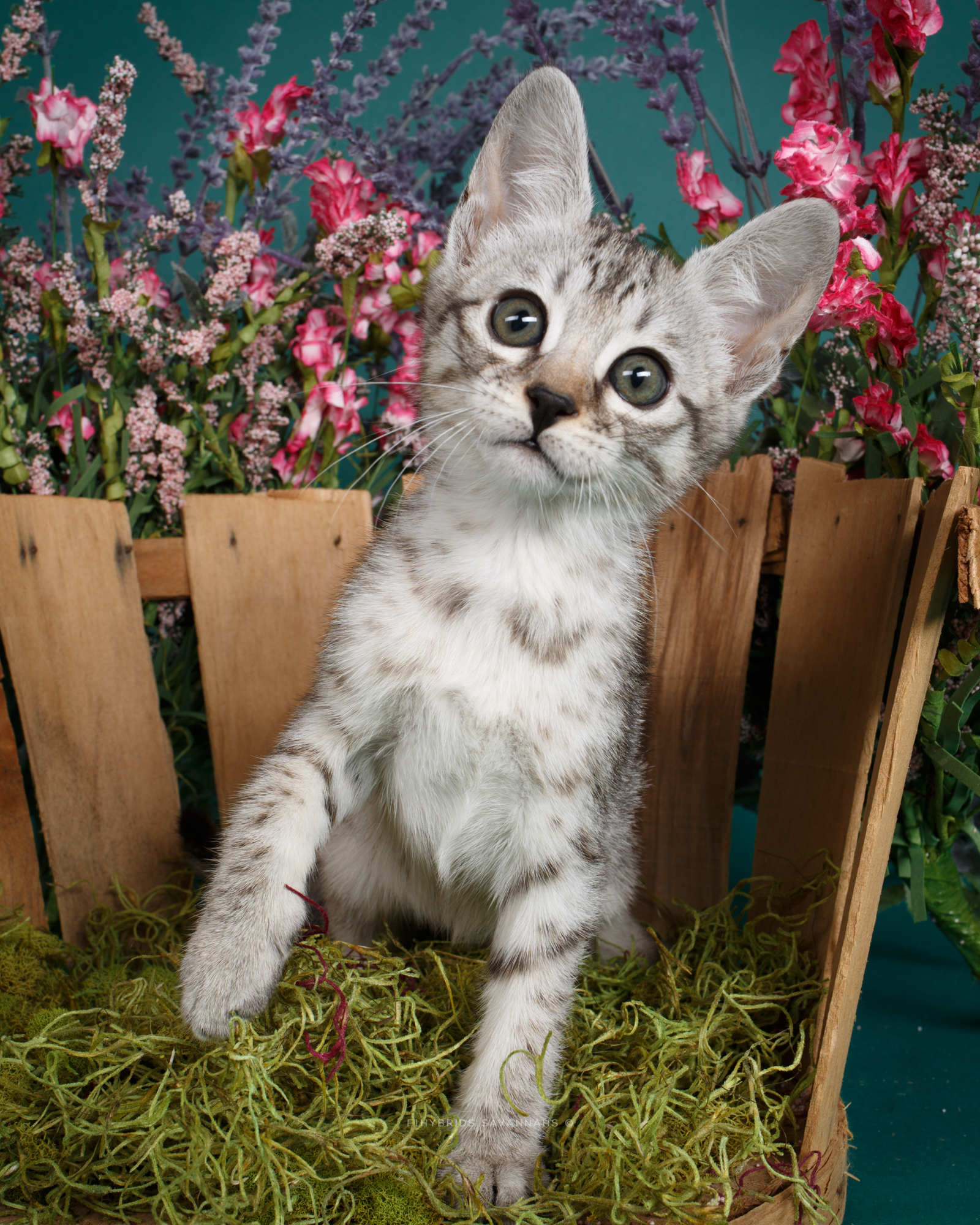 F6 Savannah Kittens-3.JPG
