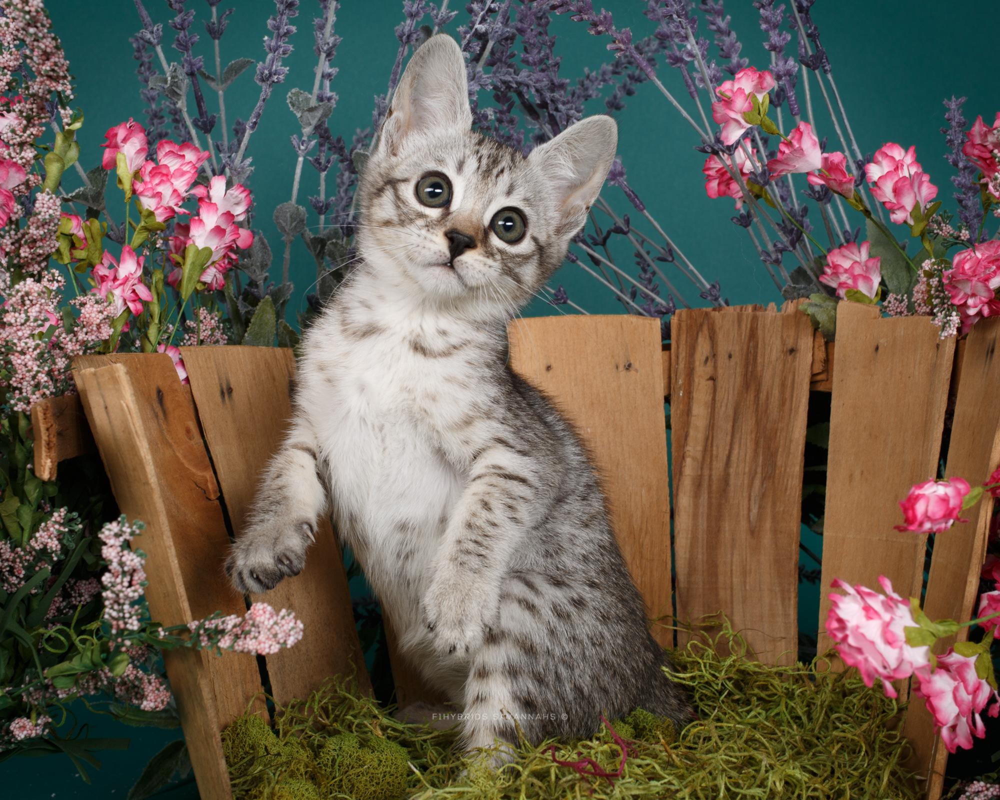 F6 Savannah Kittens-5.JPG