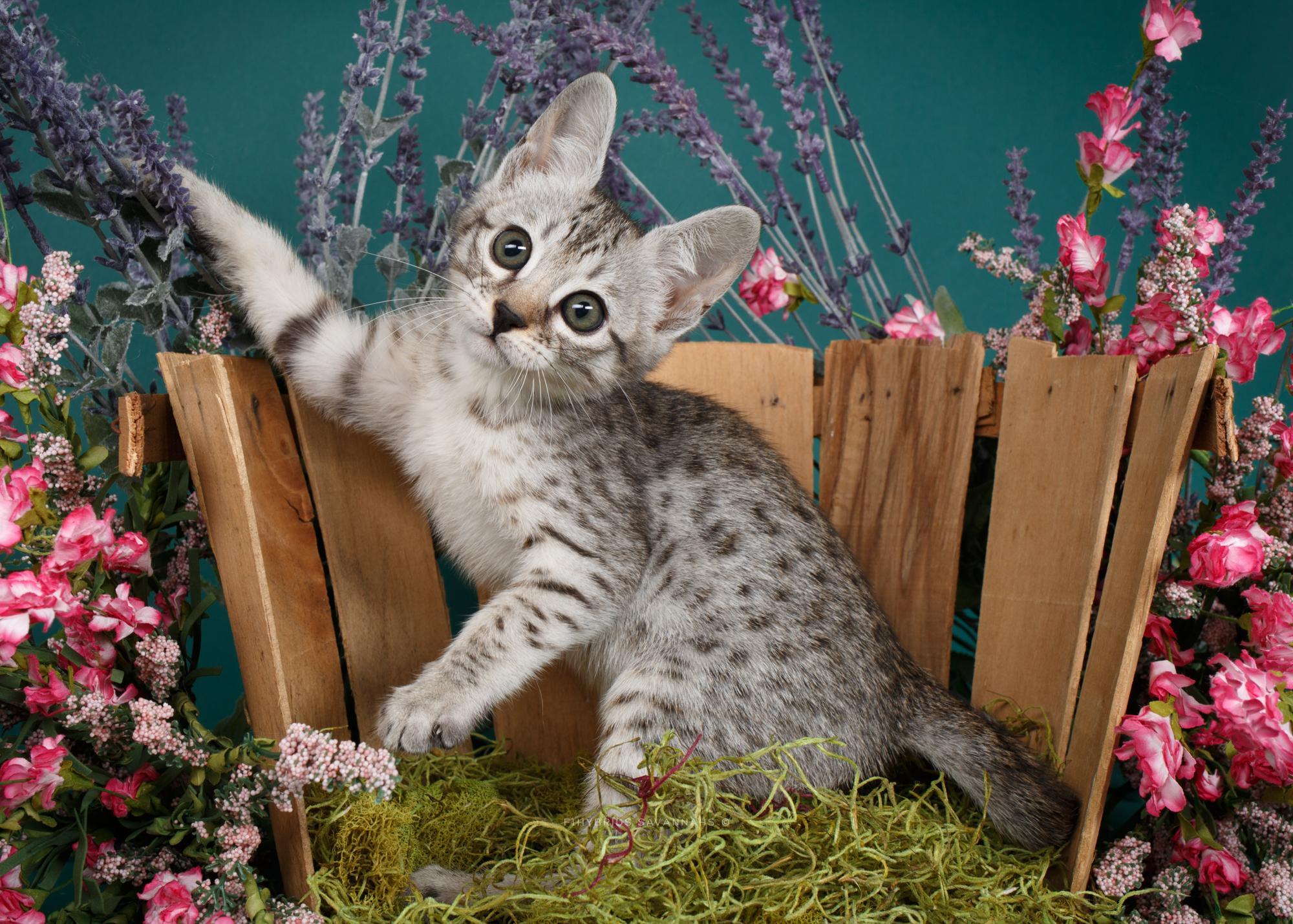 F6 Savannah Kittens-7.JPG