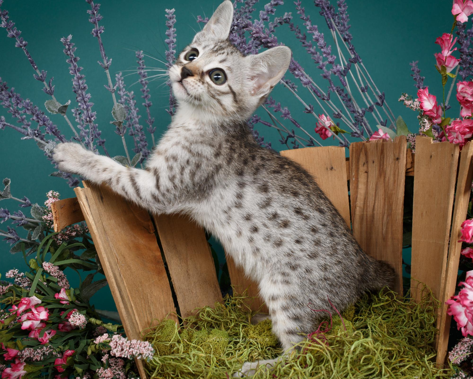 F6 Savannah Kittens-10.JPG