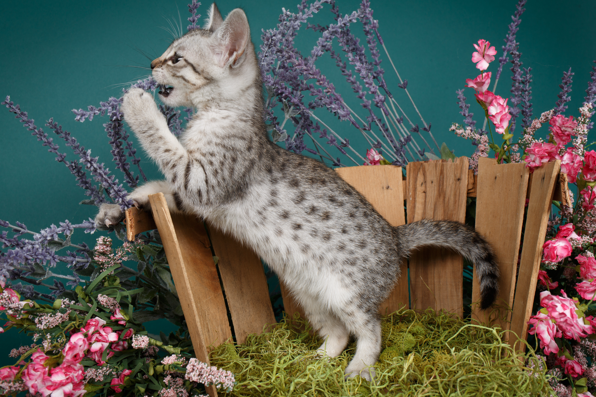 F6 Savannah Kittens-12.JPG