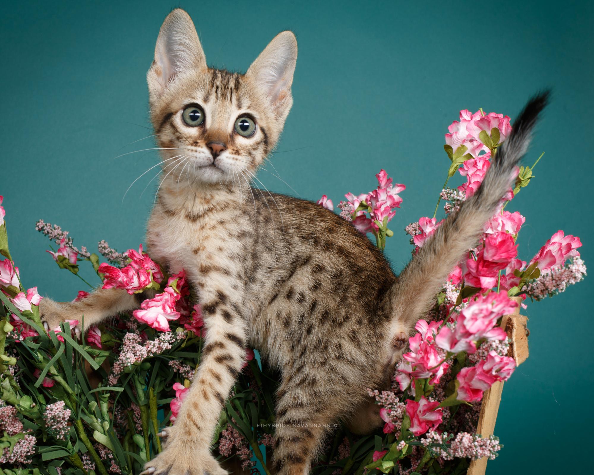 F6 Savannah Kittens-36.JPG