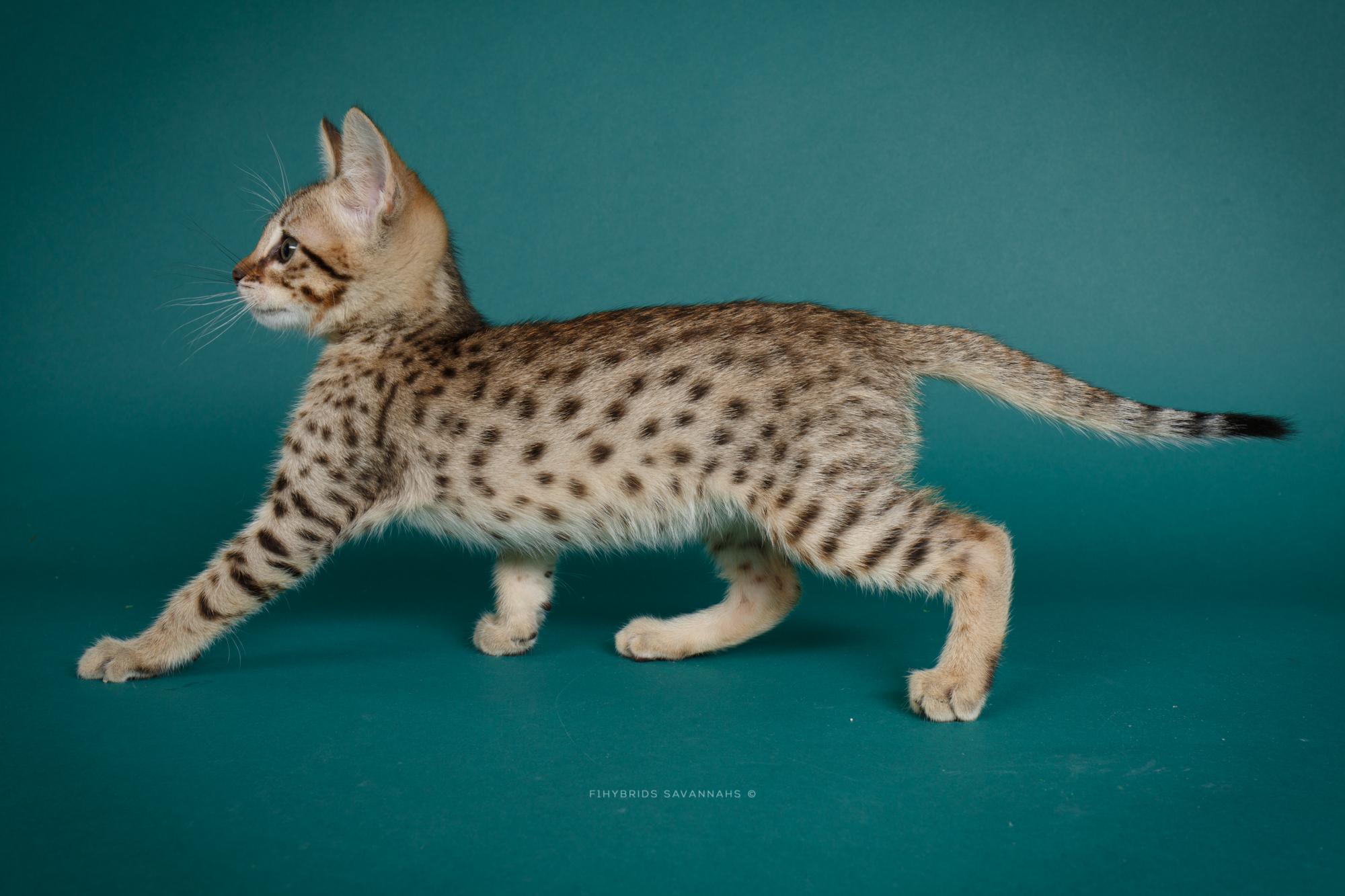 F6 Savannah Kittens-44.JPG