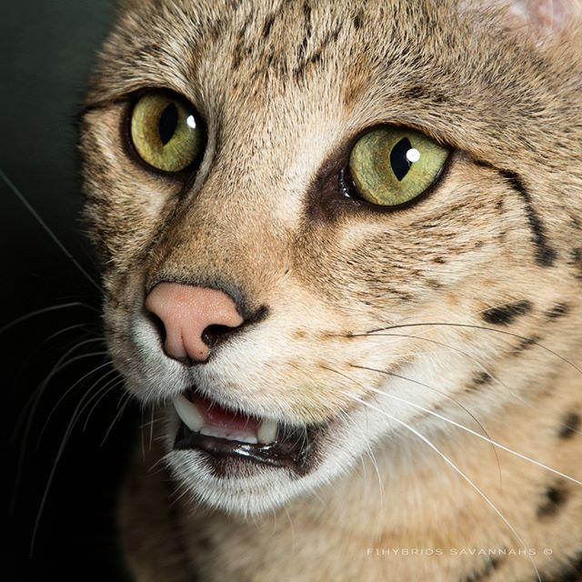 Savannah Cat Eyes